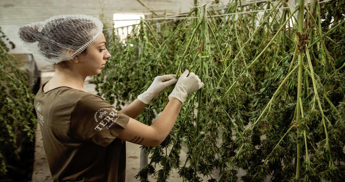 Woman sorting cannabis plants